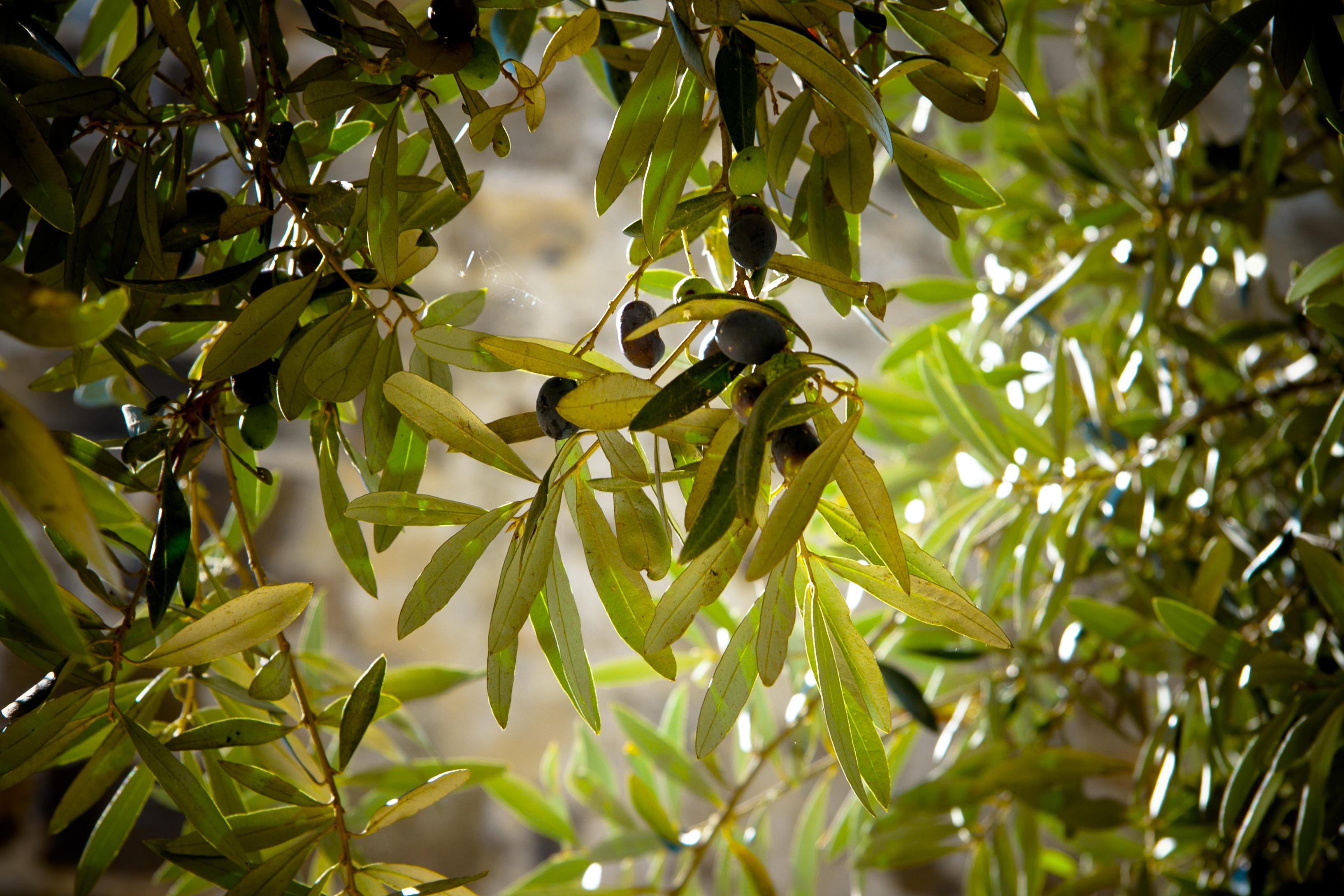 olives tree Provence