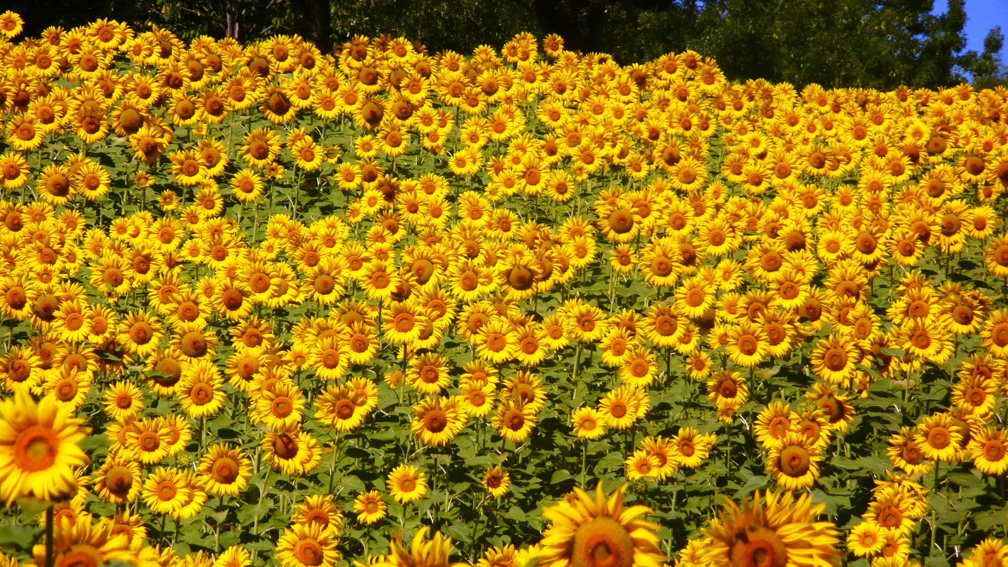 sunflowers Velleron